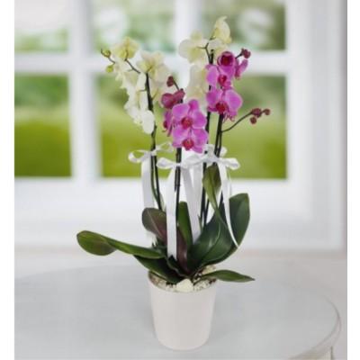 Mor Beyaz Orkide 4 Dal