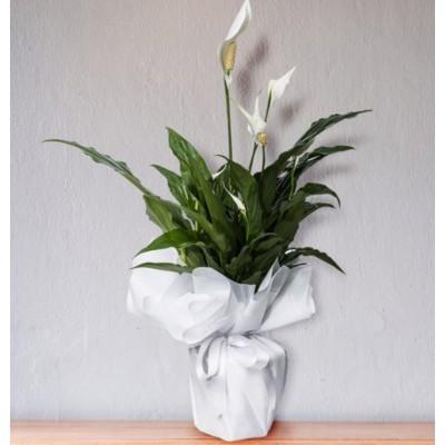Beyaz Barış Çiçeği Spatifilyum